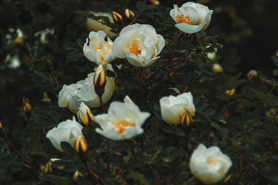 rozany krzew